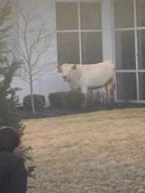 Runaway Cow Tries To Hide At Chic-Fil-A