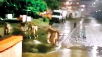 Pride of lions wander on the streets of Junagadh