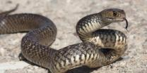Snakes bites Gujarat man, he bites back; both die